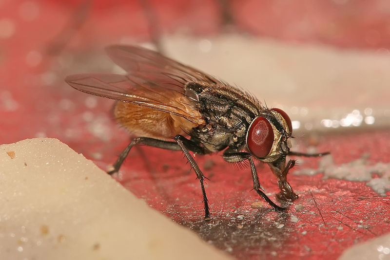 800px-Musca_domestica_housefly